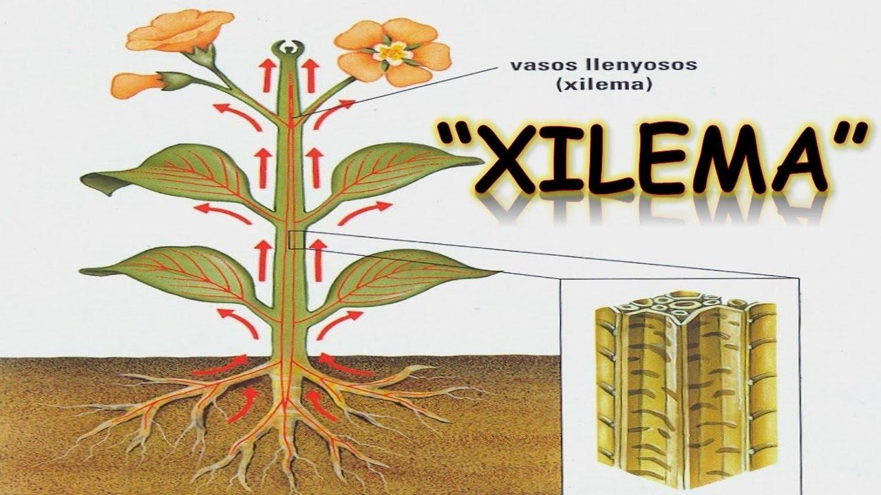 Xilema Y Floema Image Mag